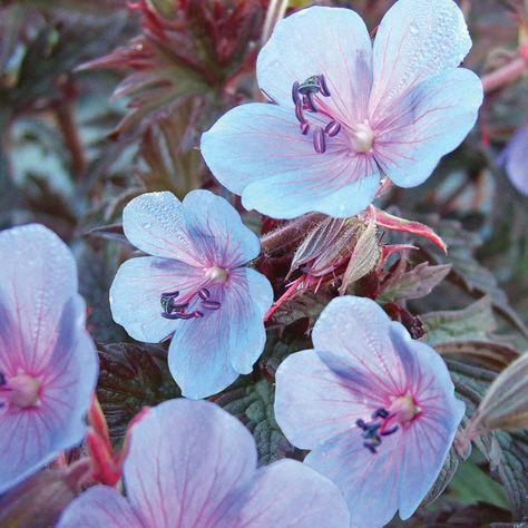 Hardy Geranium pratense 'Midnight Blue' - Single Flowering Hardy Geraniums - The Vernon Geranium Nursery