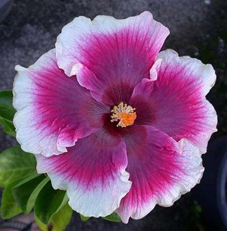 Hibiscus Flower Different Colors Hibiscus Hibiscus Plant Hibiscus Hibiscus Flowers