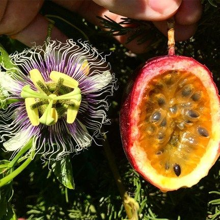 How To Grow Passion Fruit Tastylandscapetastylandscape Passion Fruit Flower Passion Fruit Plant Growing Fruit Trees