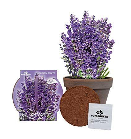 Amazon Com Totalgreen Holland Grow Fresh Lavender Seeds In Basalt Pot Indoor Great Gift Item Grow Your Own La Lavender Seeds Patio Plants Popular Flowers