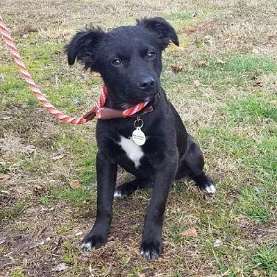 Waynesville Nc Labrador Retriever Meet Maybe A Pet For Adoption In 2020 Pet Adoption Labrador Retriever Pets