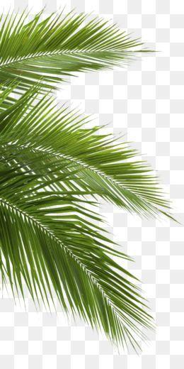 Palm Tree Png Palm Tree Silhouette Palm Tree Leaf Palm Tree Vector Palm Tre Leaf Palm Png Silhou Palm Tree Silhouette Palm Tree Png Palm Tree Vector