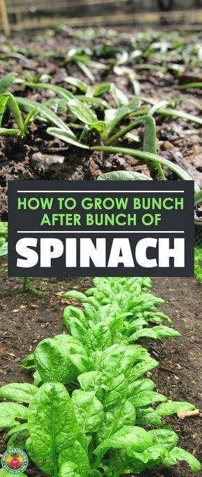 Learn How To Grow Spinach In Your Backyard Garden Gardentips