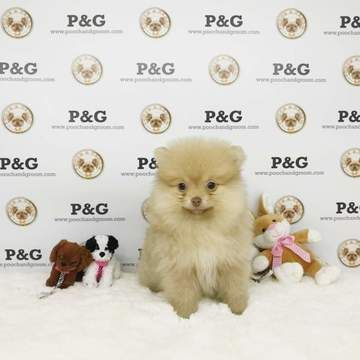 Pomeranian Puppy For Sale In Temple City Ca Adn 70825 On