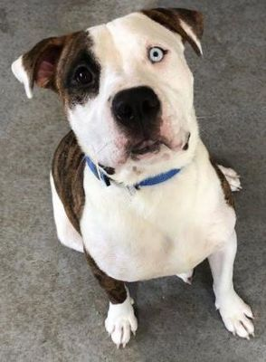 8 1 18 Kansas City Mo American Pit Bull Terrier Meet Tigger A