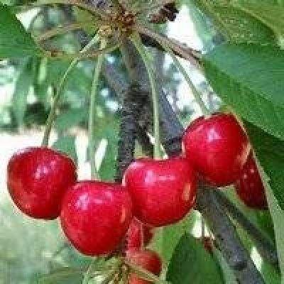 Amazon Com 12 Seeds Sweet Cherry Fruit Tree Edible Sweet Cherry Garden Outdoor Cherry Fruit Tree Flowering Cherry Tree Fruit Trees