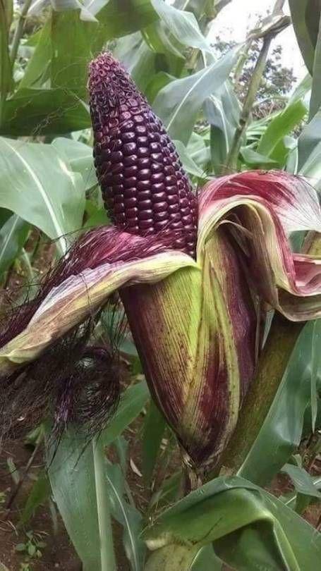Glass Gem Corn, gorgeous, 25 seeds, rare heirloom, original strain