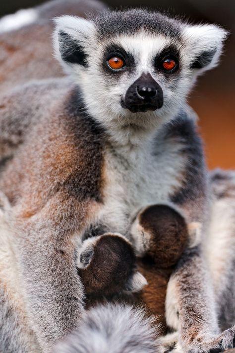 The Most Recognized Lemur Catta