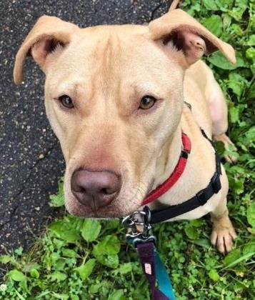 Adopt Frankie on | Pitbulls & Pet Stuff | Pets, Dogs, Pitbulls