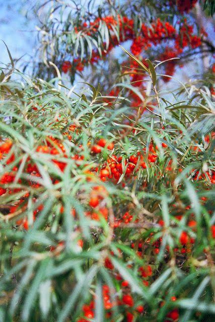 Glog Jadalne Kwiaty I Liscie 1000roslin Plants Red Peppercorn Tree