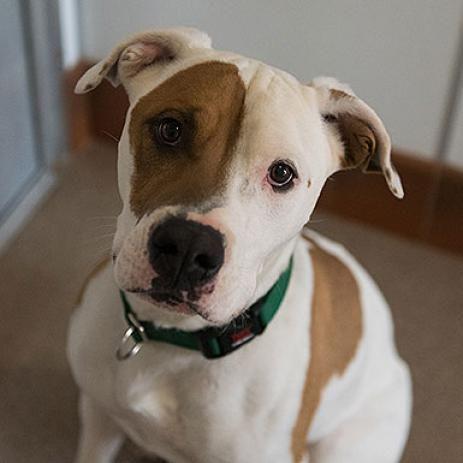 Pin On Pit Bull Terrier