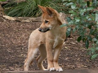 Pin By Animal Lovers On Dingos In 2020 Dingo Dog Breeder Wild Dogs