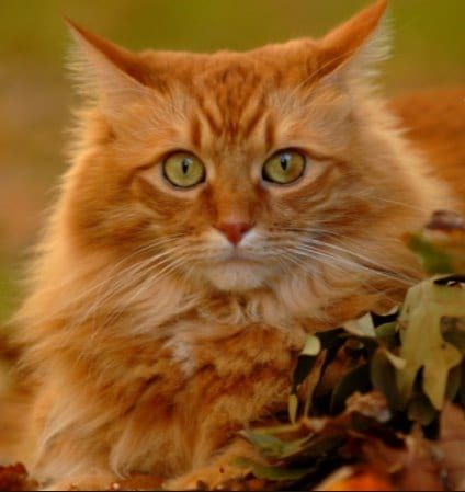 8 Fun Facts You Probably Didn T Know About Ginger Tabby Cats