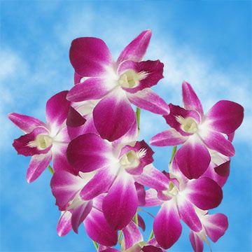 Burgundy Cream Sonia Dendrobium Orchids Discount Flower For Sale Dendrobium Orchids Flowers Online Discount Flowers
