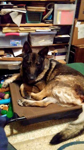 Pin By Mary Ingold On Fur Babies Of Mine Present Past Sold As Puppies Past Adults Family Friend S Dogs For Stud Dog Breeder Shepherd Dog German Shepherd Dogs