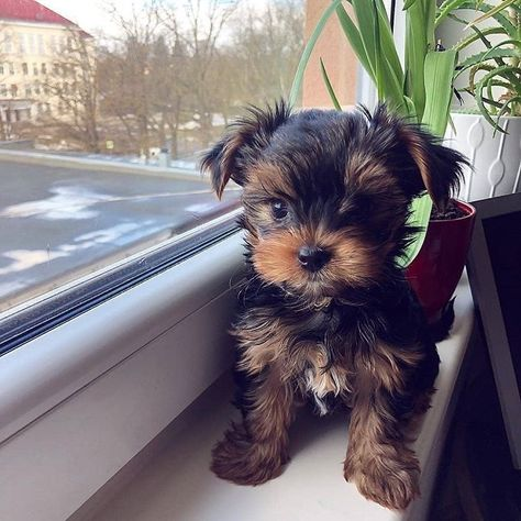 "Outstanding ""Yorkshire terriers"" info is readily available on our website. Have a look and you wont be sorry you did. Shorkie Puppies, Biewer Yorkie, Teacup Puppies, Yorkie Puppy, Teacup Yorkie, Yorkies, Mini Yorkie, Baby Yorkie, Pomeranian Dogs"