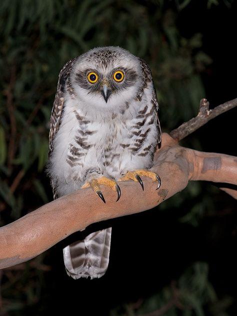 Powerful Owl (Ninox strenua) juvenile. Photo by Richard Jackson.