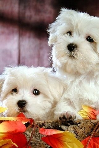 The Maltese Had Been Recognized As A Fci Breed Under The Patronage
