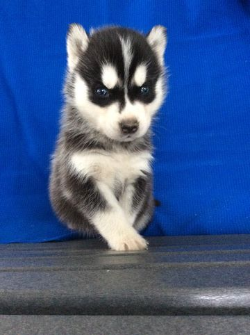 Litter Of 6 Siberian Husky Puppies For Sale In Fredericksburg Oh