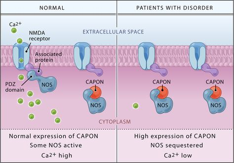 CAPON Binds Nitric Oxide Synthase, Regulating NMDA Receptor–Mediated Glutamate…