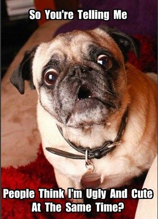 Funny Pug Dog Meme Pugs Funny Cute Pugs Funny Animal Pictures