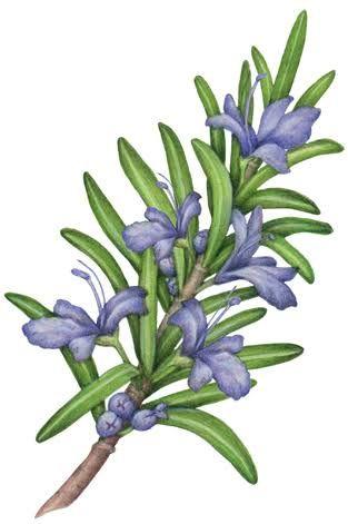 Image Result For Drawing Rosemary Flowers Herbs Illustration Stock Art Rosemary Flower