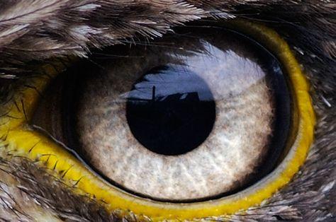 Eagle Eye Young Bald Eagle