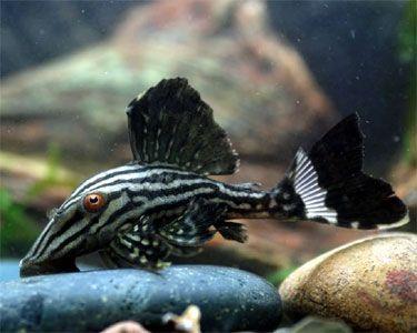Royal Pleco Panaque Nigrolineatus Speziesprofil Royal Pleco Pflegeanleitung Nigrolineatus Panaque Pflegeanleitung Aquarium Fische Aquarienfische Welse