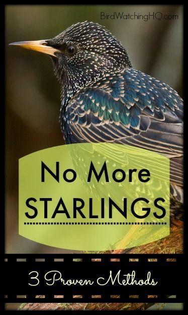3 Proven Ways To Get Rid Of Starlings Today Bird Watching Hq Bird Deterrents Wild Bird Feeders Backyard Birds