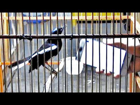Pin Oleh Jrv Boy Di Suara Burung Di 2021 Burung Melatih