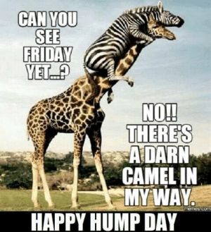 NOT a DARN CAMEL IN MY WAY HAPPY HUMP DAY | Hump Day Meme on ME.ME