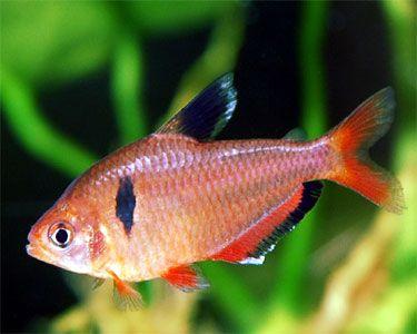 Serpae Tetra Tetra Fish Aquarium Fish Freshwater Aquarium