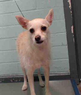 Urgent Gardenia Ca A5240259 Terrier Chihuahua Mix Female 2