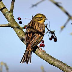 Yellowhammer  #Nature #Wildlife #Birds #Yellowhammer #shillito #wood #woods #Woodland #Forest #Peakdistrict #Countryside #instagram #Photography #birdphotography #nikon #animals #birdwatching #ukbirds #ukwildlife #uknature