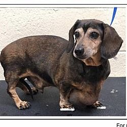Dachshund Rescue Of Los Angeles In Los Angeles California In 2020 Dachshund Rescue Dachshund Adoption Dog Adoption