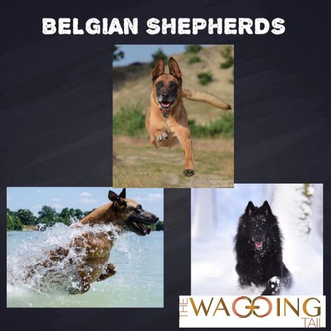 KNOW YOUR BREED BELGIAN SHEPHERDS is an extremely