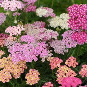 Vallmo Rabatt Rllika Frn Impecta Ny Fr 2016 In 2020 Flowers Perennials Outdoor Flowers Lilac
