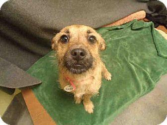 Upper Marlboro Md Border Terrier Chihuahua Mix Meet Star A