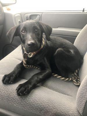 Lulu Adoptable Dog Puppy Female Black Labrador Retriever Labrador Retriever Black Labrador Retriever Labrador Dog