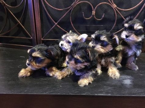 Litter Of 5 Morkie Puppies For Sale In Cornelius Nc Adn 31291 On