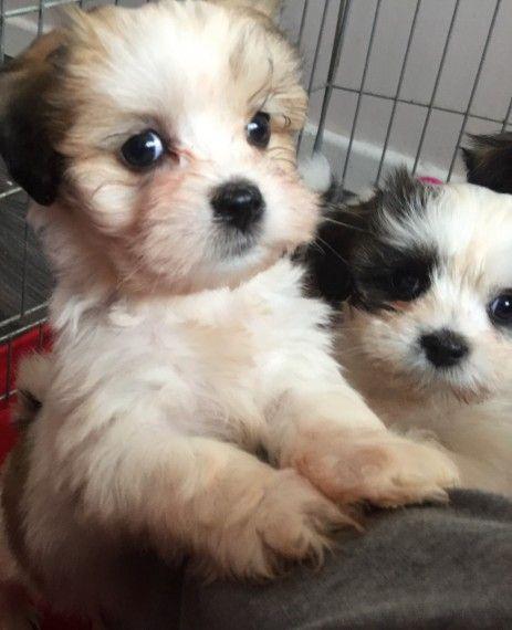 Beautiful Pure Lhasa Apso Puppies Lhasa Apso Puppies Lhasa Apso