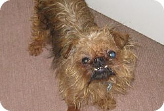 Jacksonville Fl Pomeranian Chihuahua Mix Meet Daisy Pom Chi