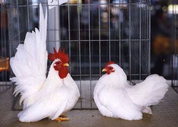White Chabos Couple Bantam Chickens Pet Chickens Beautiful Chickens