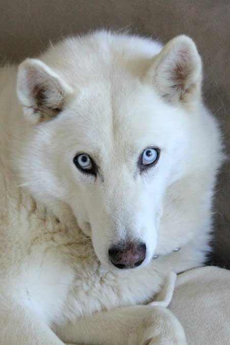 Female Dog Names And Meanings Husky Mix Female Dog Names Husky