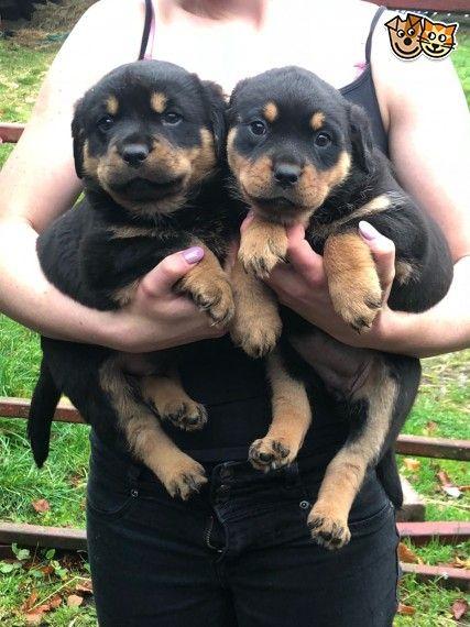Super Fluffy Rottweiler Pups Rottweiler Puppies Rottweiler