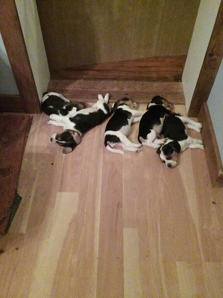 Beagle Puppy For Sale In Antrim Nh Adn 63898 On Puppyfinder Com