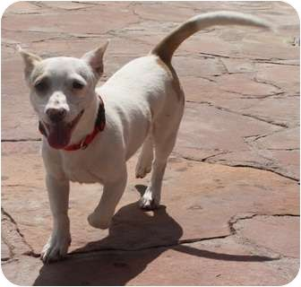 Bull Terrier Chihuahua Mix Rare Dog Breeds Unique Dog Breeds