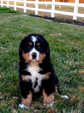 Bernese Mountain Dog Puppy For Sale In Hartly De Adn 57502 On