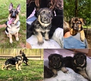 German Shepherd Dog Club Of America Gsdca German Upstate New York