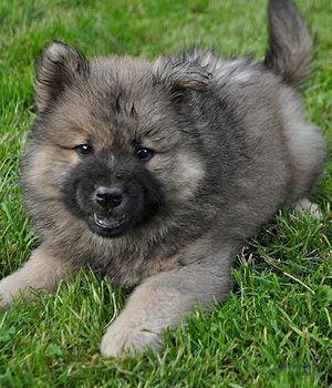 Eurasier Welpen Eurasier Eurasier Hund Eurasier Welpen
